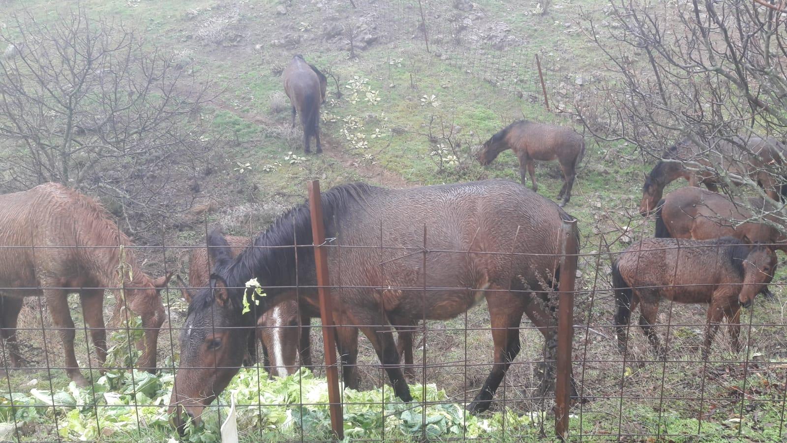 Yılkı Atları Pazar Artıklarıyla Besleniyor