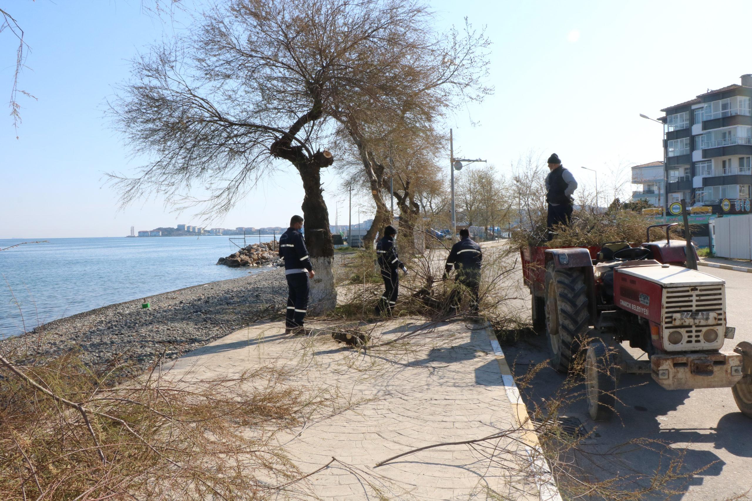 Çınarcık'ta Ağaç Budama Çalışması Yapılıyor