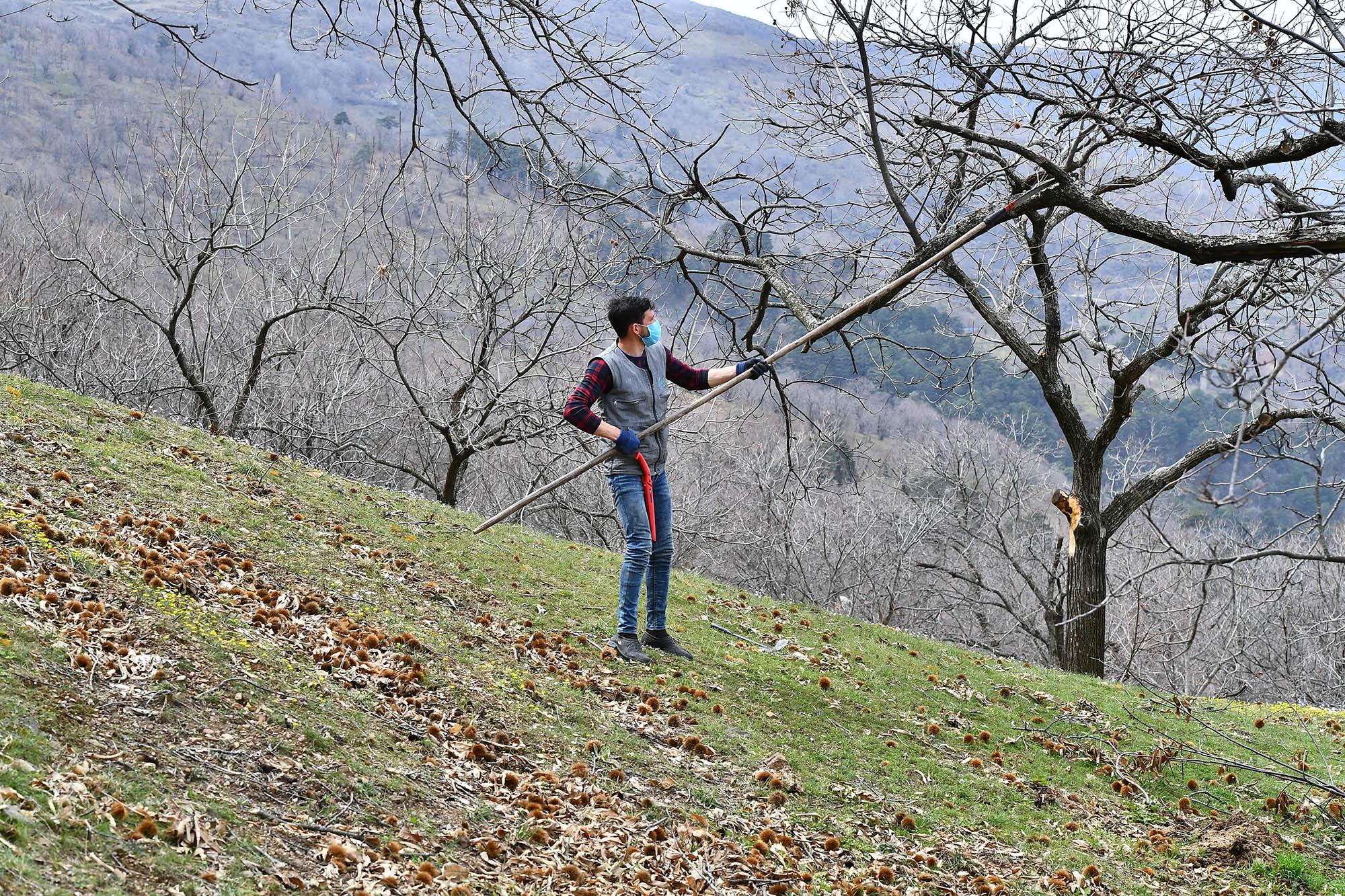 İzmir'de Kestane Ağaçları İyileştiriliyor