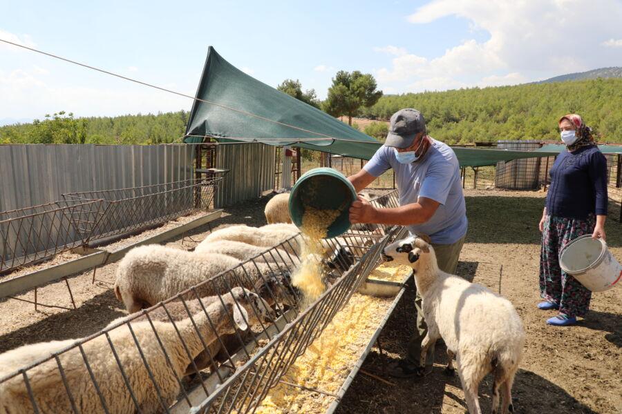 Antalya Büyükşehir'den Koyunları Telef Olan Aileye 15 Koyun