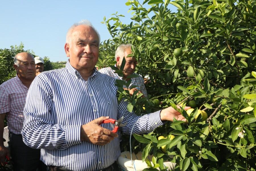 Erdemli'de Yılın İlk Limon Hasadı Yapıldı
